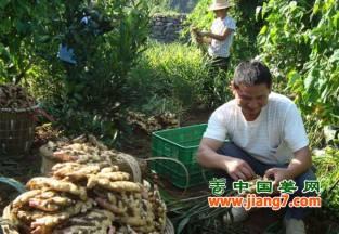 奉节:生姜喜获丰收,农户脱贫向小康 ()