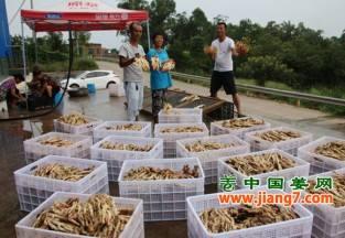 泸州:生姜带动农户致富 ()