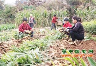 海阳:大姜收获季,产量真不赖 ()