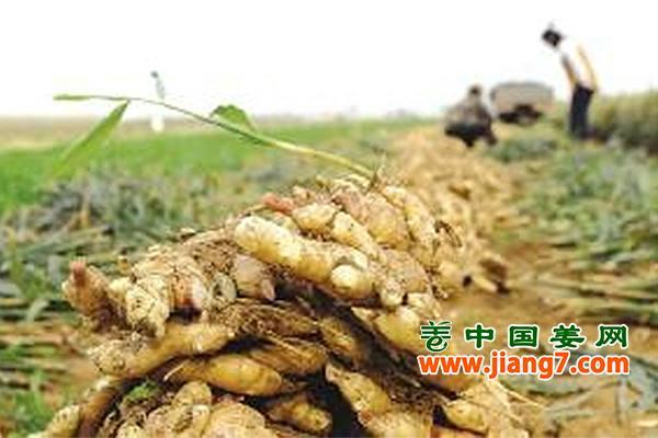移风镇:鲜姜丰收季,农户笑开怀