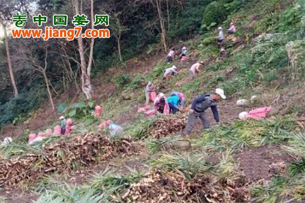 广西百色:生姜大丰收