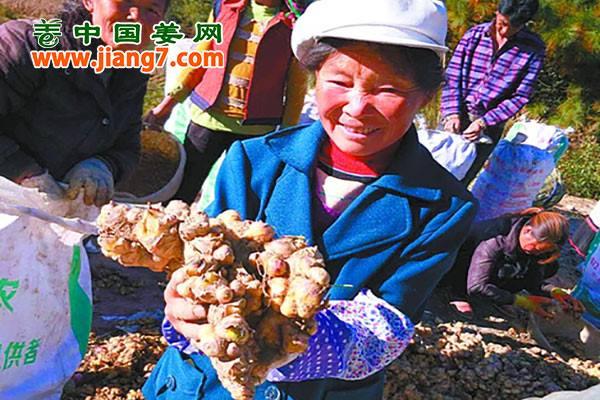 攀枝花:扶贫生姜卖出高价 ()