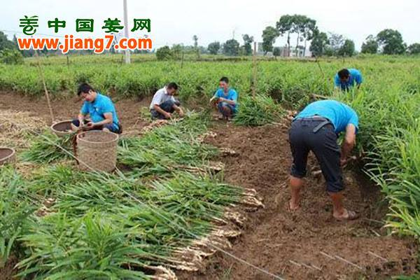 泸县:牛滩生姜成了国家地理标志保护产品 ()
