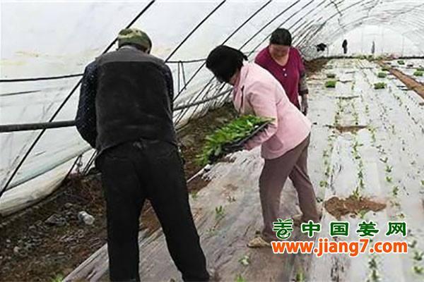 新疆:蔬菜大棚育苗移栽忙
