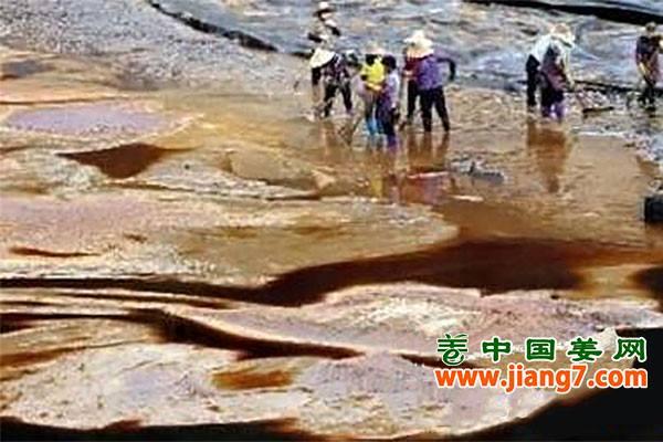 罗平:小黄姜产业整治污水