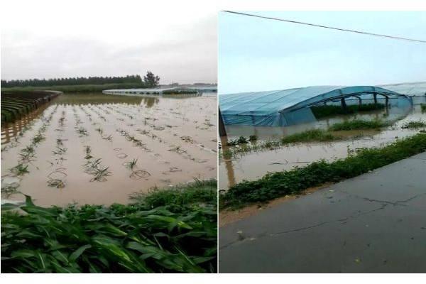 安丘:强降雨过后,大姜受灾到底有多严重? ()