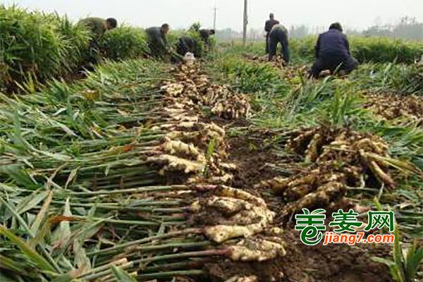 河北新姜丰收上市 ()