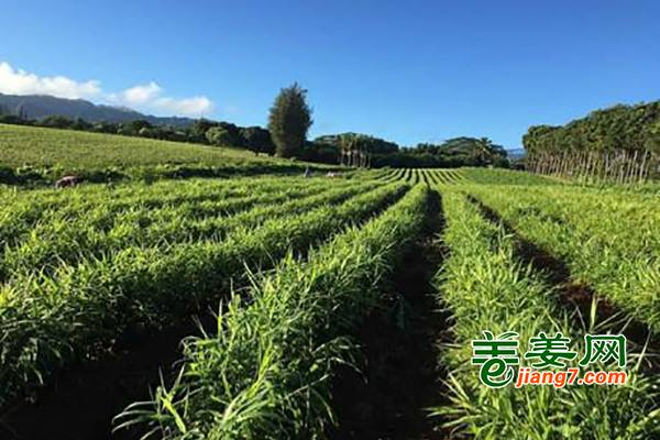 夏威夷有机生姜丰收