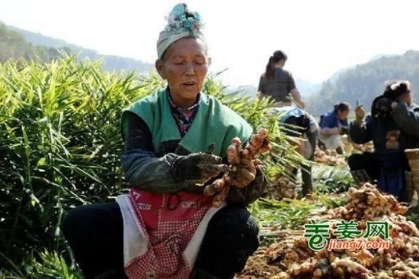 镇宁10万亩ca88亚洲城平台姜喜获丰收