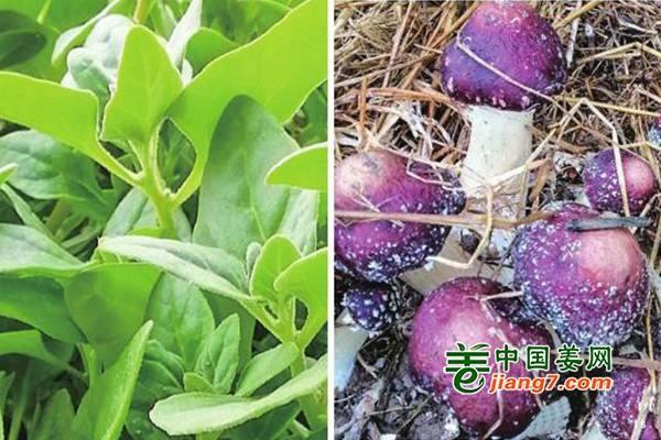 新疆温室蔬菜俏销