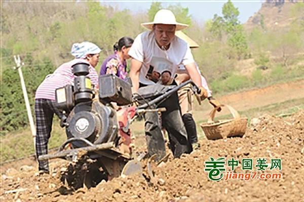 贵州:生姜种植带动农户致富