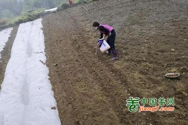 贵州都江镇:生姜产业引领农户增收致富 ()