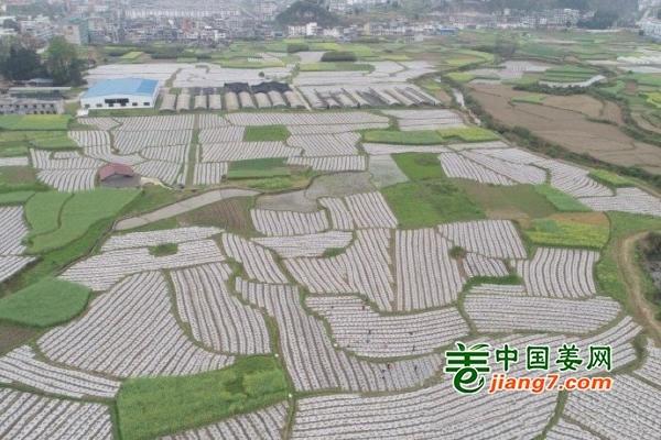 贵州松桃:移栽蔬菜覆膜忙