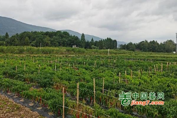 湖北利川:高质蔬菜 农民的致富之路 ()