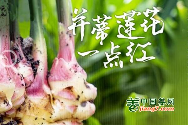 """嘉兴南湖:生姜""""一抹红""""火了百姓生活 ()"""