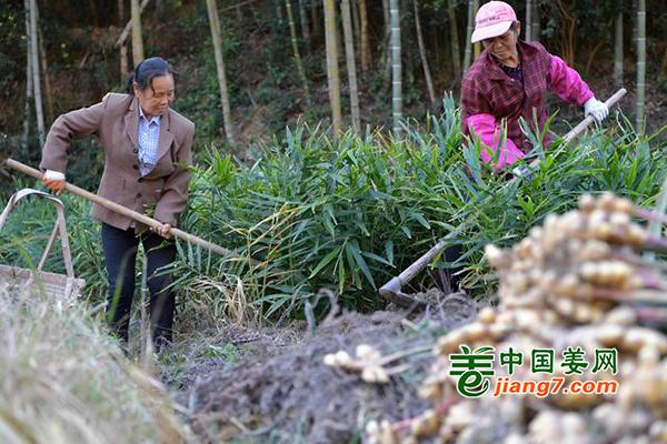 江西赣州:生姜丰收 助民增收致富