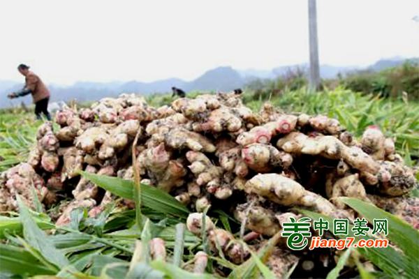 贵州:三穗长吉镇生姜喜获丰收