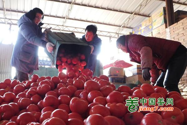 山西新绛:蔬菜喜迎丰收 菜农销售忙