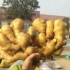 山东生姜产地姜种批发小姜价格