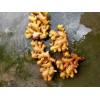 贵州二黄江。小黄姜。。云南。大牙姜。