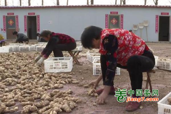 河南台前:积极发展生姜种植 ()