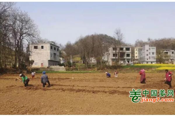贵州兴仁:姜农开始忙春种 ()
