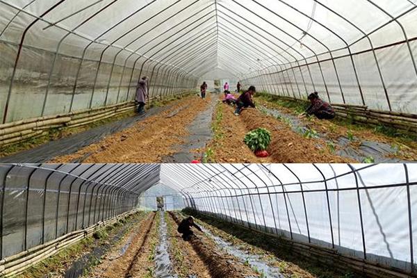 贵州锦屏:发展蔬菜产业春耕忙 ()