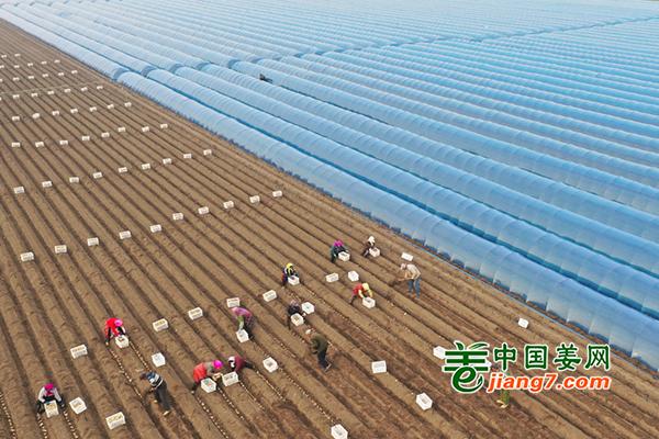 唐山五万余亩生姜开种 ()