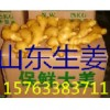 山东生姜产地 山农一号姜种高产368姜种山东小姜价格