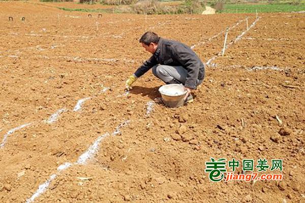六盘水:生姜示范项目开始种植 ()