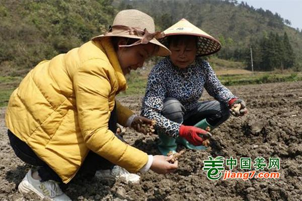 贵州三都:清明生姜种植忙 ()