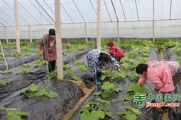 江西银河镇:万亩蔬菜供应南方市场