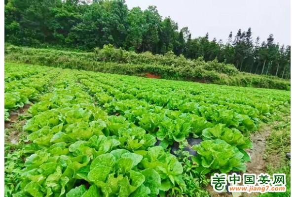 炉山镇:蔬菜基地喜获丰收