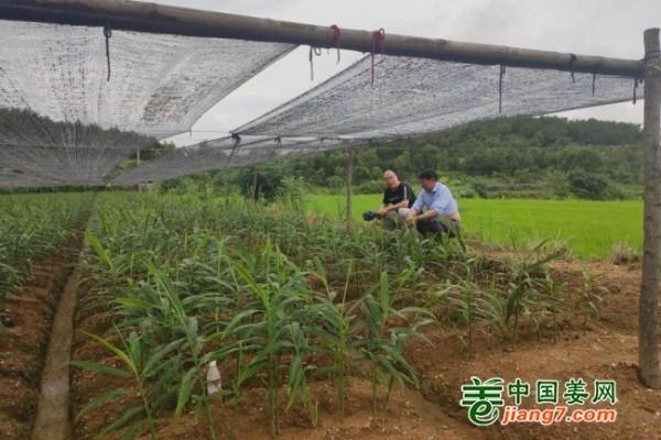 中国姜网基地调研--湖北、安徽 ()