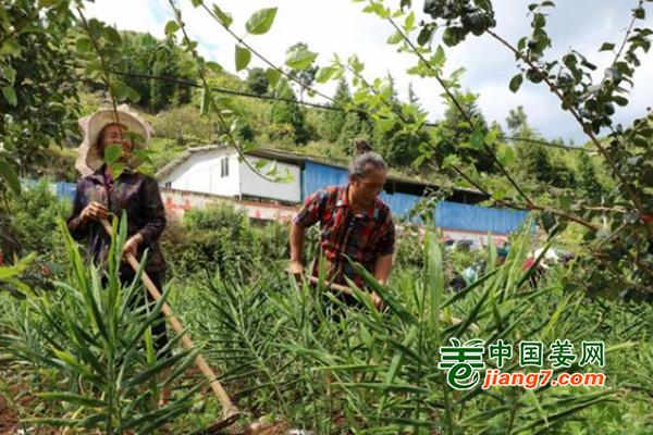 贵州兴仁:生姜助农增收致富 ()