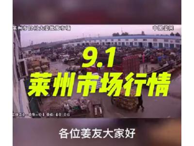 9月1日 莱州生姜交易实况(下货显快) ()