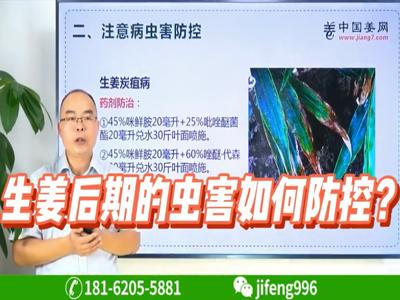 生姜后期的虫害如何防控?